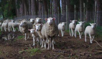 La technologie au service de l'élevage bovin